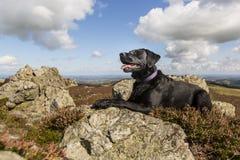Labrador som vilar på stiperstonesna i shropshire, England royaltyfri fotografi