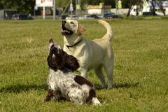 Labrador and Spaniel. Dogs play with each other. Merry fuss puppies. Young dog education, cynology, intensive training of dogs.