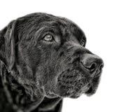Labrador Stående av hunden på vit bakgrund royaltyfri bild