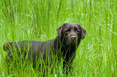 Labrador Standing in Grass. Chocolate lab standing in tall grass Royalty Free Stock Images