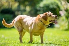 Labrador-Stellung auf dem Gras, das oben zur Seite an einem sonnigen Tag schaut stockfoto