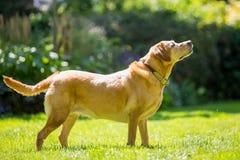 Labrador-Stellung mit dem Geifer oder Speichel, die von seinem Mund an einem sonnigen Tag kommen lizenzfreies stockfoto