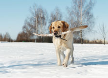 Labrador with stick at winter Stock Photography