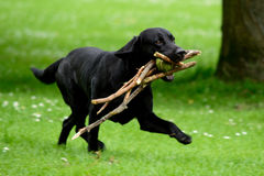 Labrador dog. Retrieves 5 sticks and a tennis ball in mouth royalty free stock image