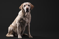 Labrador in studio Stock Foto
