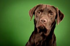 Labrador studio portrait. Studio shot of a brown labrador retriever dog, green backdrop, horizontal Stock Photography