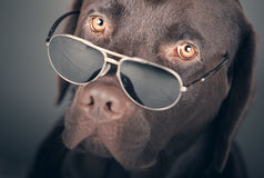 Labrador with Sunglasses Royalty Free Stock Photography