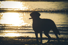 Labrador in sunset. Black lab carrying stick  in sunset light on the beach Stock Photos