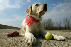 Labrador and sunshine Stock Photos