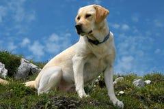 Labrador sur le dessus Photos libres de droits