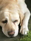 Labrador sveglio Fotografia Stock