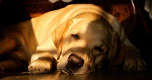 Labrador sveglio che dorme sul pavimento immagine stock