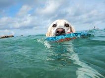 Labrador Stock Photo