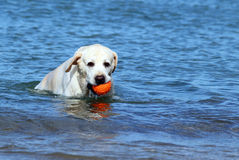 Labrador swimming in the sea with a ball Stock Image