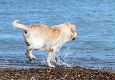 Labrador swimming in the sea Royalty Free Stock Photos