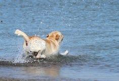 A labrador swimming in the sea Stock Photos