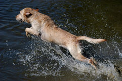 Labrador swimming in the water. Labrador retriver jumping into the water Stock Photo