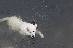 Labrador swims Stock Photo