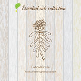 Labrador tea, essential oil label, aromatic plant Royalty Free Stock Images