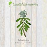 Labrador tea, essential oil label, aromatic plant Stock Images