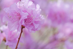 Labrador tea flower Royalty Free Stock Image