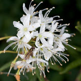 Labrador tea and fly Stock Images