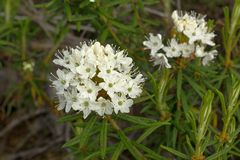 Labrador tea marsh L. Lédum palústre flowers in the tundra. In June Royalty Free Stock Photography
