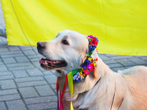 Labrador in traditionele Oekraïense bloemkroon Royalty-vrije Stock Foto