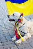 Labrador in traditionele Oekraïense bloemkroon Stock Afbeelding