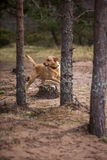 Labrador between trees Royalty Free Stock Photography