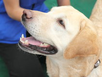 Labrador. true friend. Ukraine's first holiday for pets and their owners. Kiev. June 2015 Royalty Free Stock Image
