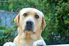 Labrador in tuin ongerust die wordt gemaakt die Royalty-vrije Stock Afbeelding