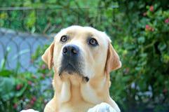 Labrador in tuin ongerust die wordt gemaakt die Stock Foto's