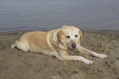 Labrador am Ufer Lizenzfreies Stockfoto