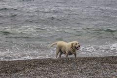 Labrador und Meer lizenzfreie stockfotografie