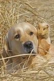Labrador und Meerschweinchen Stockbild