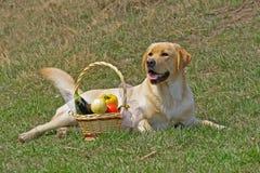 Labrador und mit einem Korb der Früchte Stockfotografie