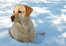Labrador und Schnee lizenzfreies stockbild