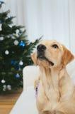 Labrador under Chrismas tree Royalty Free Stock Image
