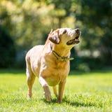 Labrador ungefähr, zum eines Balls oder des Stockes von der Front an einem sonnigen Tag zu fangen lizenzfreie stockfotografie