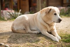 Labrador utanför på grön gräsmatta- och husbakgrund Arkivbild