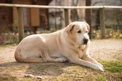 Labrador utanför på grön gräsmatta- och husbakgrund Arkivfoton