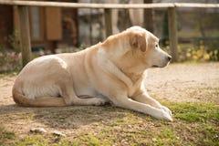 Labrador utanför på grön gräsmatta- och husbakgrund Royaltyfri Foto