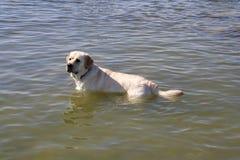 Labrador va nuotare fotografia stock