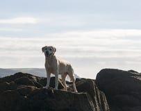 Labrador on vacation Stock Image