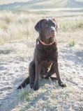 Labrador on vacation Royalty Free Stock Photo