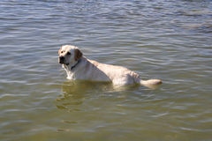 Labrador vai nadar Foto de Stock