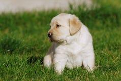 Labrador valp royaltyfri bild