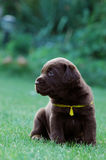 Labrador van Chocolat retriever Stock Fotografie