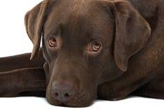 Labrador van de chocolade hond Royalty-vrije Stock Foto's